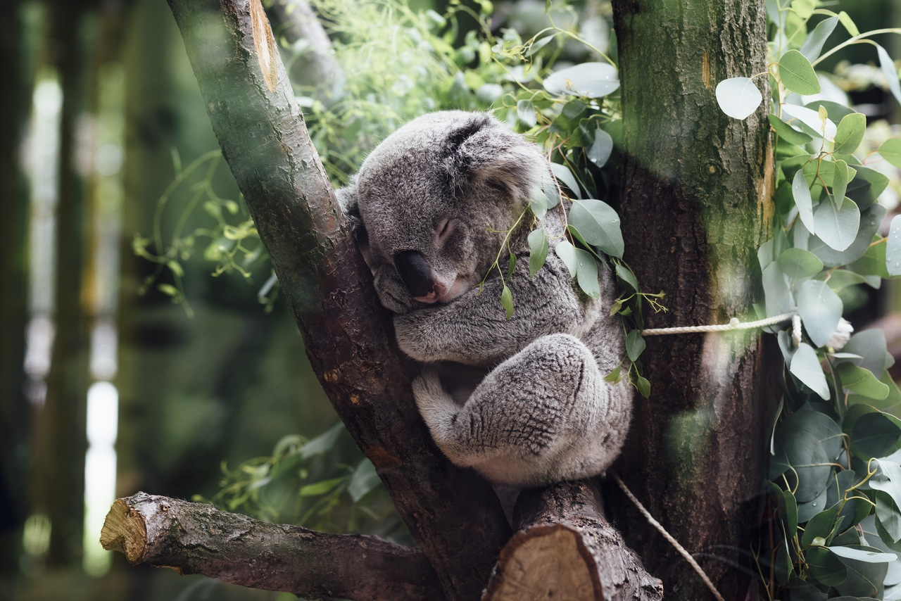 Koala - North Farm Loing Nature Retreat, Bellingen