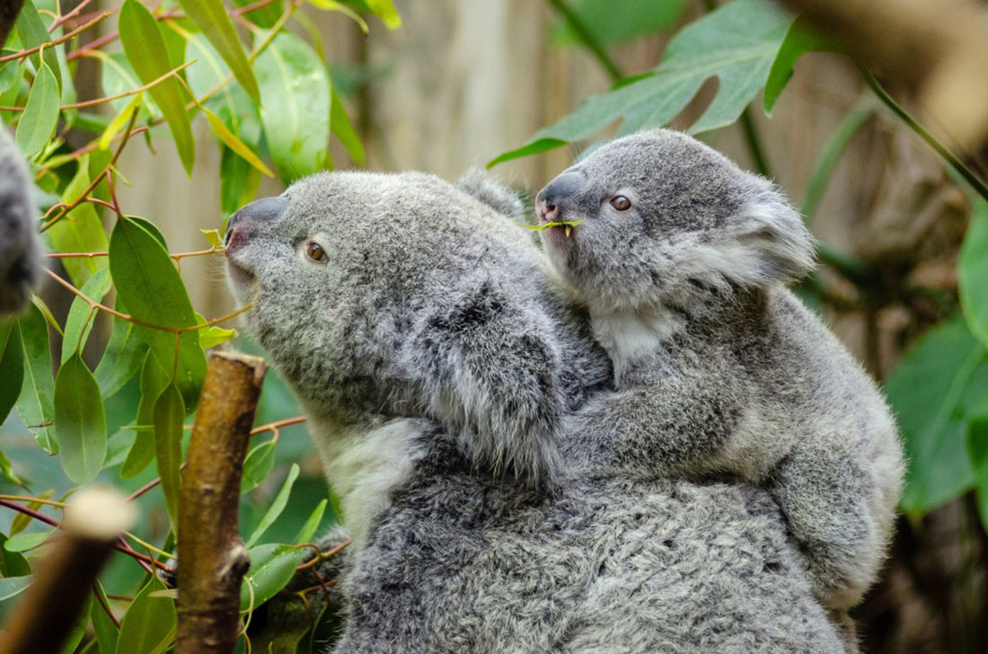 North-Farm-Loving-Nature-Retreat-Space-Koalas